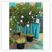 Gardenia Standard