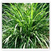 Grass Liriope Green/Variegated