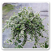 Hanging Basket Ficus Repens Variegated
