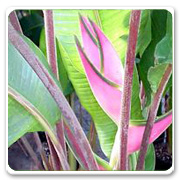 Heliconia Eden Pink
