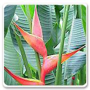 Heliconia Firebird