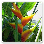 Heliconia Jacquinil