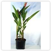 Heliconia Lady