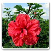 Hibiscus American Beauty Red