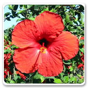Hibiscus Brilliant Red