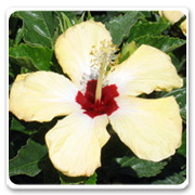 Hibiscus Cream Red Lutea
