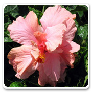 Hibiscus Double Pink Audrey