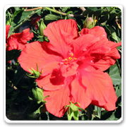 Hibiscus Double Red Celia