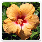 Hibiscus Euterpe Orange