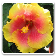 Hibiscus Hybrid Bon Temps