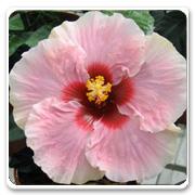 Hibiscus Hybrid Bonjour