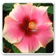 Hibiscus Hybrid Lovebite