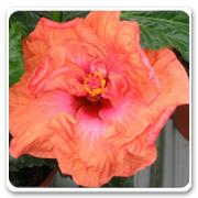 Hibiscus Hybrid Persimmon