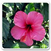 Hibiscus Pink Kona