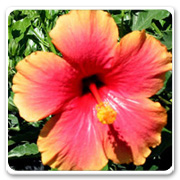 Hibiscus Pink Mrs Jimmy Spangler