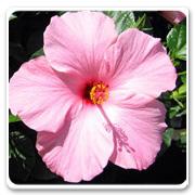 Hibiscus Pink Seminole