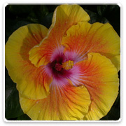 Hibiscus Spiral