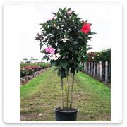 Hibiscus Standard