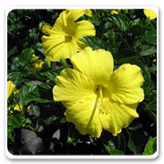 Hibiscus Yellow Delight