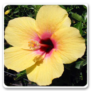 Hibiscus Yellow Freedom