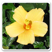 Hibiscus Yellow Ft Myers