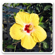 Hibiscus Yellow Wing