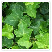 Ivy (Assorted Varieties)