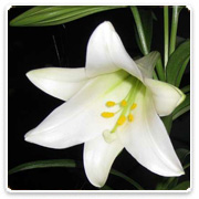 Lily Easter