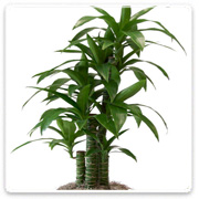 Dracaena Lisa Green