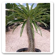 Pachypodium Single