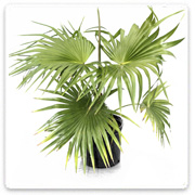 Palm Chinese Fan