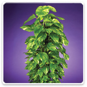 Pothos (Assorted Varieties)