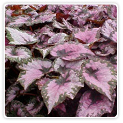 Begonia Rex Annie