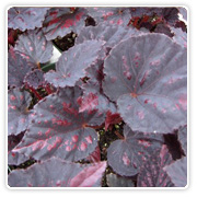 rex-begonia-black-ruby
