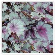 Begonia Rex Celia