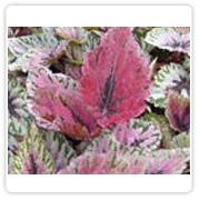 Begonia Rex Pink Pride