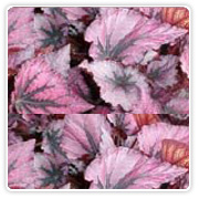 Begonia Rex Red Knight