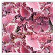 Begonia Rex Red Pride