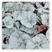 Begonia Rex Snow Men