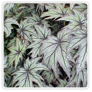 Begonia Rex Star