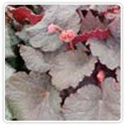 Begonia Rex Tita