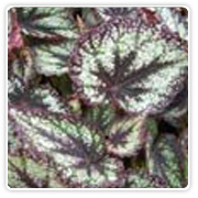 Begonia Rex Vesuvious