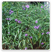 Ruellia Bush