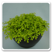 Fern Spikemoss Gold