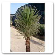 Yucca Filifera Blue