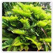 Palm Zamia Furfuracea